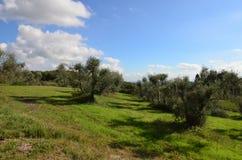 Toczni wzgórza i Oliwni gaje w Tuscany fotografia royalty free