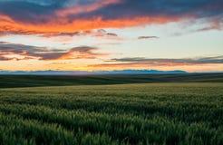 Toczni wzgórza Pszeniczni pola obraz royalty free
