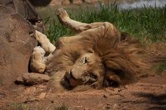Toczny lew Zdjęcia Royalty Free