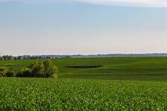Toczny pole Młody kukurudzy gospodarstwo rolne w Omaha Nebraska gdzieś zdjęcie stock