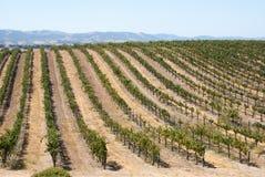 Toczny wzgórze Kalifornia winorośle Fotografia Stock
