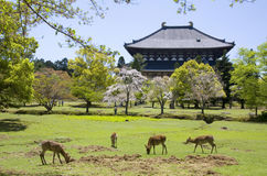 Todai-ji temple, Nara, Japan. Buddhist temple Todai-ji with bloomed trees and deers on meadow in foreground in Nara park, Japan Stock Image