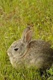 Todavía conejo en la hierba. Imágenes de archivo libres de regalías