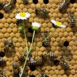 Todavía de la abeja vida Imagenes de archivo
