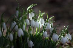Todavía de la primavera vida hermosa con los snowdrops Imagenes de archivo