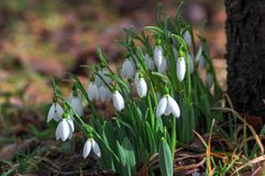 Todavía de la primavera vida hermosa con los snowdrops Fotografía de archivo libre de regalías