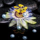 Todavía del balneario vida de la flor de la pasionaria en piedras del basalto del zen con el Dr. Imagen de archivo libre de regalías