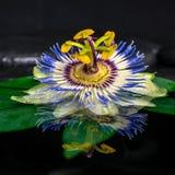 Todavía del balneario vida hermosa de la flor de la pasionaria en la hoja verde, zen Fotografía de archivo