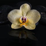 Todavía del balneario vida hermosa de la orquídea amarilla (phalaenopsis), Fotografía de archivo libre de regalías