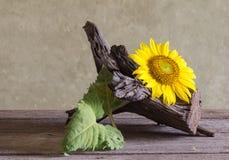 Todavía girasoles hermosos de la vida Fotografía de archivo