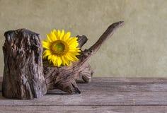 Todavía girasoles hermosos de la vida Fotos de archivo libres de regalías