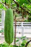 Todavía grupo del estilo de vida de verdura orgánica del calabacín Imagen de archivo libre de regalías