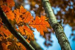 Todavía hojas de otoño anaranjadas en el árbol foto de archivo