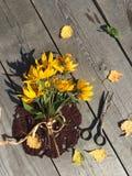 Todavía la vida con la alcachofa de Jerusalén amarilla florece en un viejo fondo de madera Fotos de archivo libres de regalías