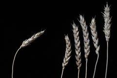 Todavía la vida de varios oídos del trigo se cierra para arriba fotos de archivo libres de regalías