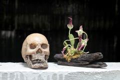 Todavía vida con el cráneo y la orquídea en la madera en noche con el fondo del dak Imágenes de archivo libres de regalías