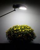 Todavía vida con el crisantemo Fotos de archivo