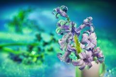 Todavía vida con la flor del jacinto Imagen de archivo