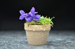 Todavía vida con las flores de la viola de la primavera Foto de archivo libre de regalías