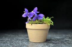 Todavía vida con las flores de la viola de la primavera Foto de archivo