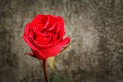 Todavía vida con las rosas hermosas Imagen de archivo
