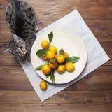 Todavía vida con los mandarines de las mandarinas en la placa y el gato Imagenes de archivo