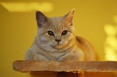 Todavía vida con un detalle de un gato británico anaranjado joven con los ojos de cobre grandes Fotos de archivo libres de regalías