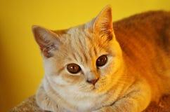 Todavía vida con un detalle de un gato británico anaranjado joven con los ojos de cobre grandes Imagen de archivo libre de regalías