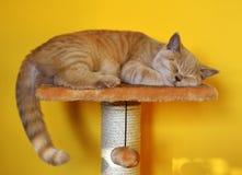 Todavía vida con un detalle de un gato británico anaranjado joven con los ojos de cobre grandes Imágenes de archivo libres de regalías