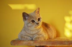 Todavía vida con un detalle de un gato británico anaranjado joven con los ojos de cobre grandes Fotos de archivo