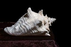 Todavía vida con una concha marina grande en una tabla aislada en un negro Fotografía de archivo