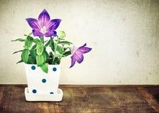 Todavía vida de la flor de globo o del grandiflor roja púrpura de Platycodon Foto de archivo