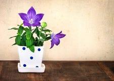 Todavía vida de la flor de globo o del grandiflorus púrpura f de Platycodon Fotos de archivo libres de regalías