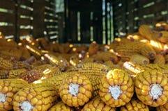 Todavía vida de los oídos del maíz en horreo en Galicia España Imágenes de archivo libres de regalías