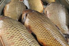 Today is a fish day for your table. Pamper your family. Fish ear and delicious baked carp can be for dinner crucian carp, carp, fish soup, fish menu, fish food stock image