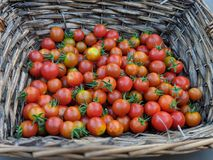 Todays harvest from garden. Tomatoes basket homegrown royalty free stock photos