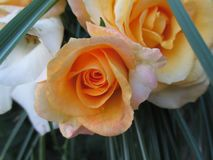 The yellow rose III stock images