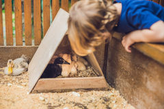 Toddler boy caresses and playing with Ducklings in the petting z royalty free stock images