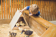Toddler boy caresses and playing with Ducklings in the petting z royalty free stock photo