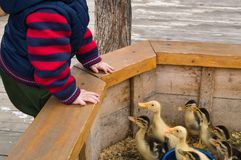 Toddler boy fed and playing and look at Ducklings in the petting zoo. royalty free stock images