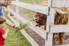 Toddler boy and his father feeding a highland cow Stock Photography