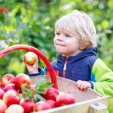 Toddler boy sitting in wooden trolley with red apples Royalty Free Stock Image