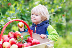 Toddler boy sitting in wooden trolley with red apples Stock Photography