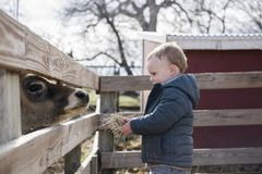 Toddler Boy Visiting a Local Urban Farm and Feeding the Cows wit Royalty Free Stock Photos
