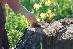 Toddler child arm taking crawling on tree stump edible snail Stock Images