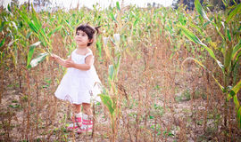 A toddler in a corn field. A little girl wearing a white dress in the corn field Royalty Free Stock Photos