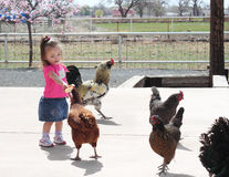 Toddler Feeding the Chickens Stock Image