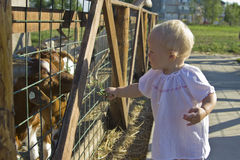 Toddler feeding the goats. Toddler visiting the farm animals and feeding the goats through fence Royalty Free Stock Photography