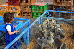 Toddler and geese. A young girl looking at geese in a pen Stock Photos