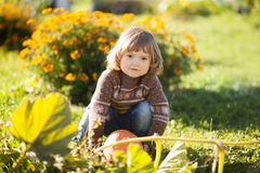 Toddler girl harvesting orange pumpkin. Cute little girl working at family farm, countryside. Little gardener in the garden, autumn day, fall season Stock Photos